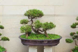 bonsai-tree-viveros