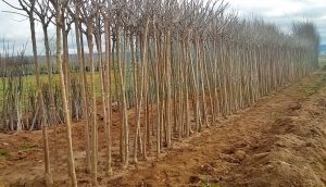árboles raíz 2